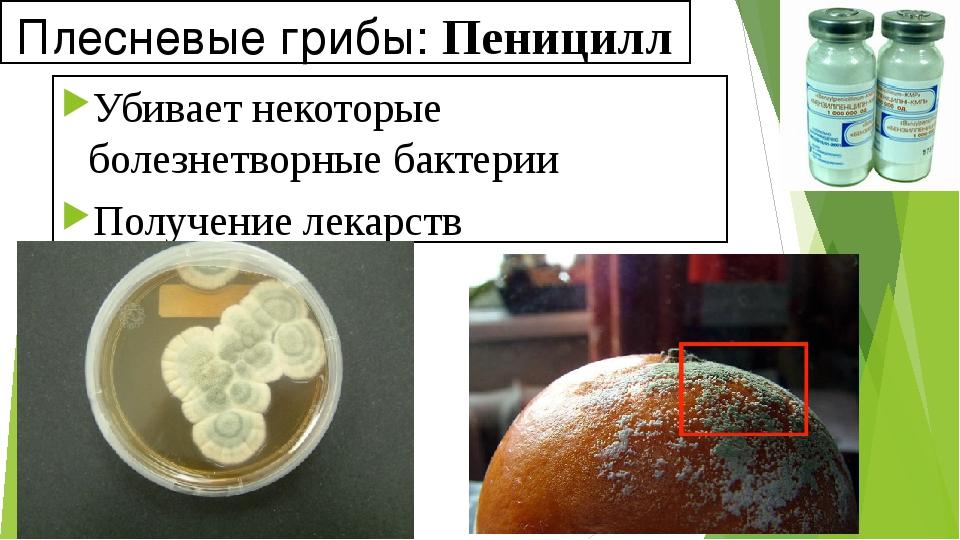 Плесневые грибы: Пеницилл Убивает некоторые болезнетворные бактерии Получение...