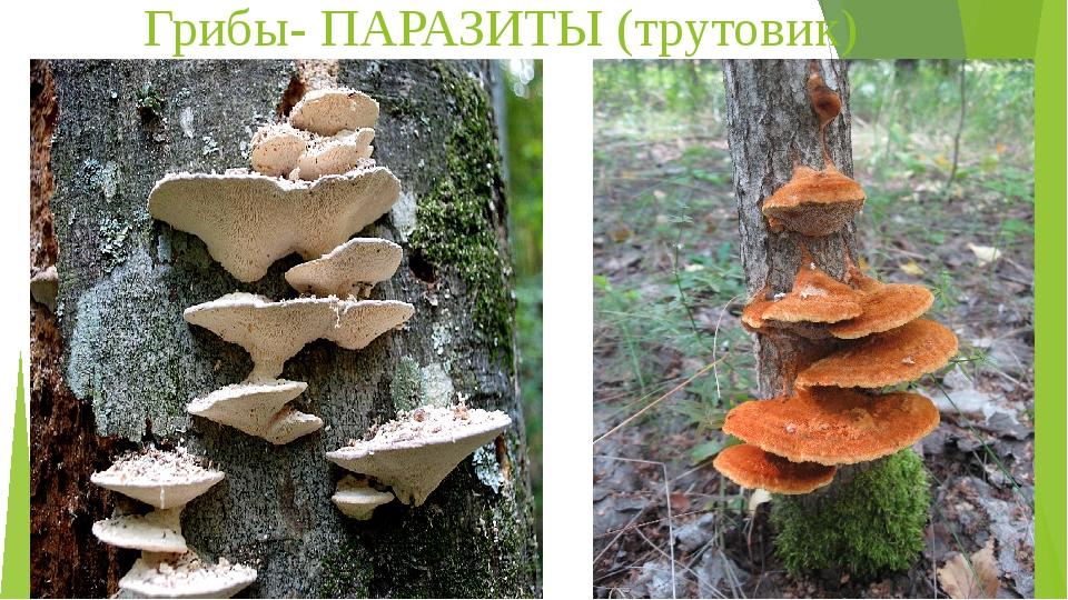 Грибы- ПАРАЗИТЫ (трутовик)