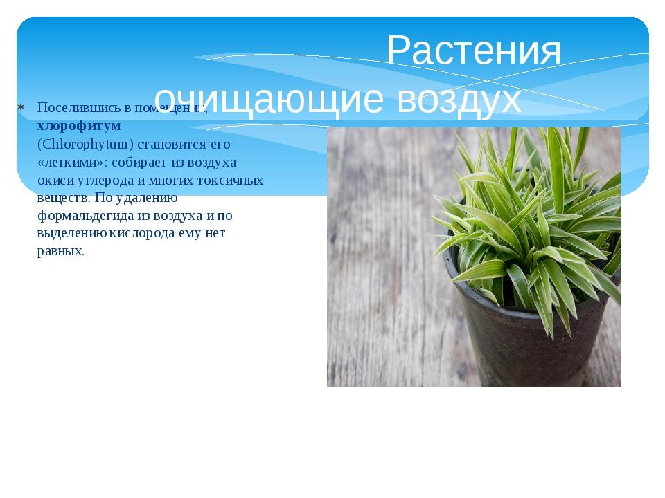Поселившись в помещении,хлорофитум (Chlorophytum)становится его «легкими»:...