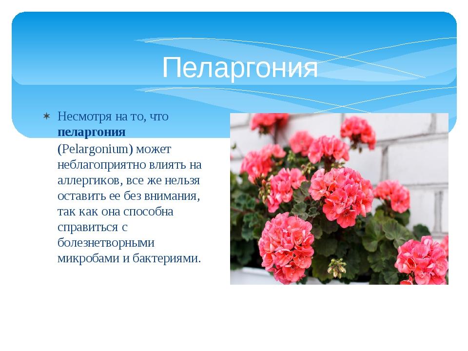 Несмотря на то, чтопеларгония (Pelargonium)может неблагоприятно влиять на а...