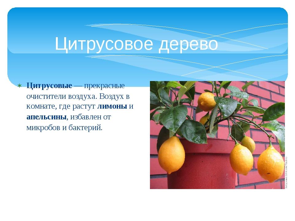 Цитрусовые— прекрасные очистители воздуха. Воздух в комнате, где растут лимо...
