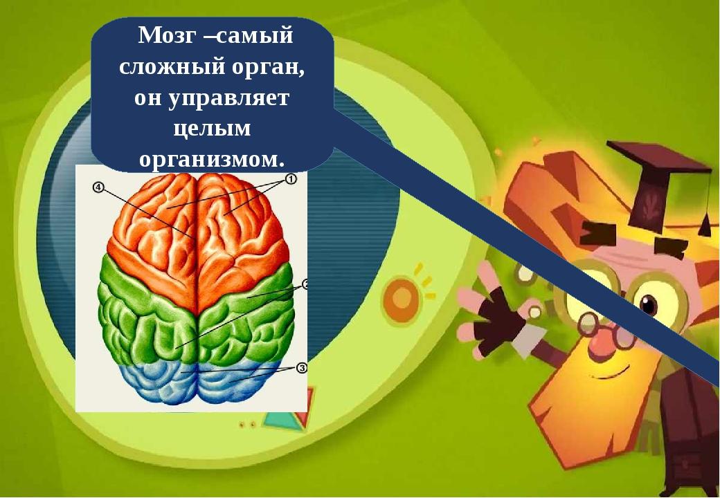 Мозг –самый сложный орган, он управляет целым организмом.