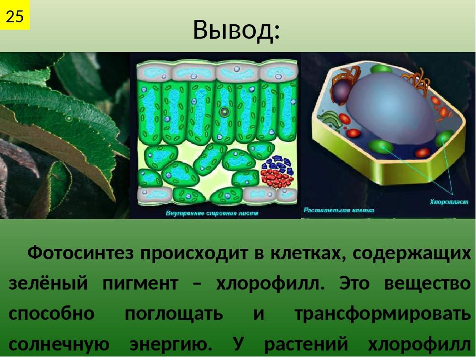 Вывод: Фотосинтез происходит в клетках, содержащих зелёный пигмент – хлорофил...