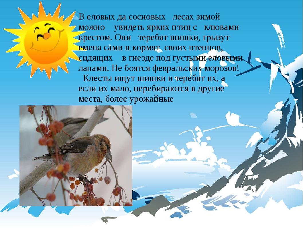 В еловых да сосновых лесах зимой можно увидеть ярких птиц с клювами крестом....