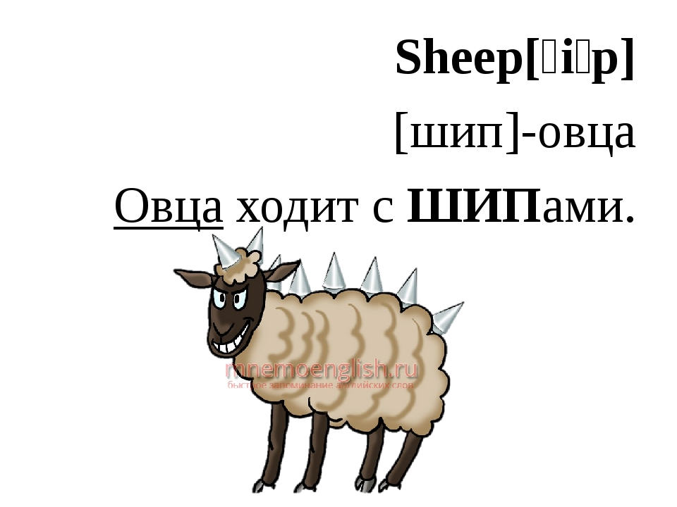 Sheep[ʃiːp] [шип]-овца Овца ходит с ШИПами.