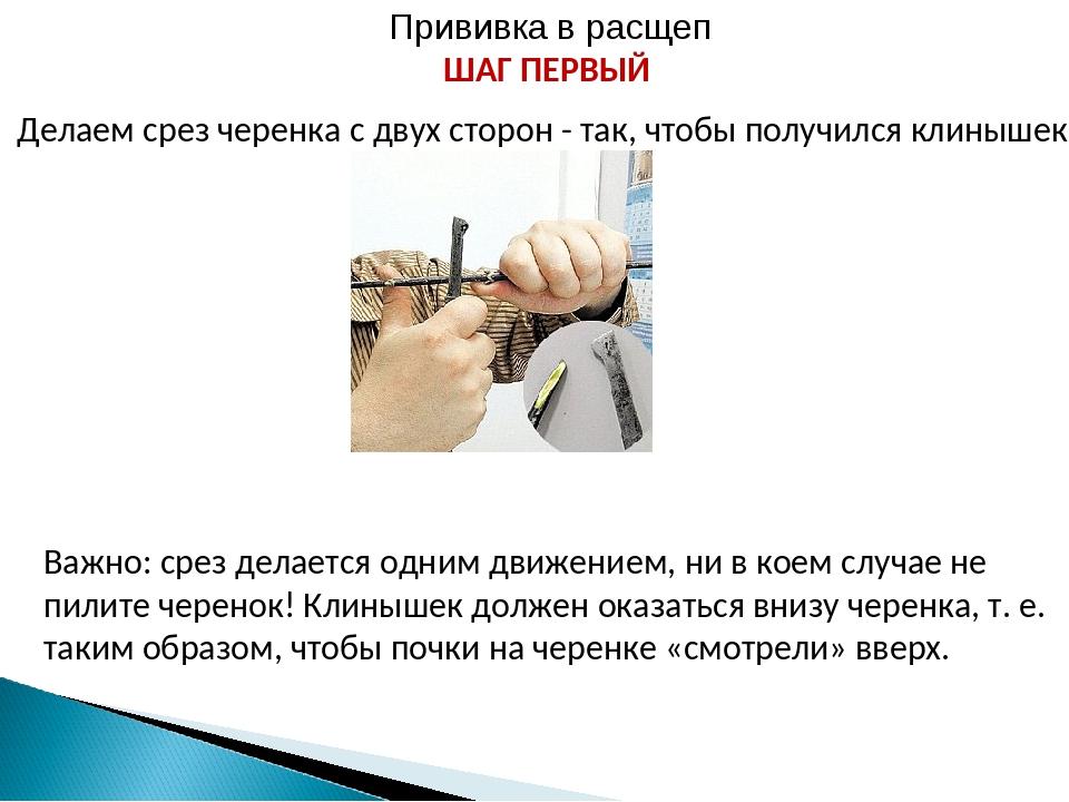 Прививка в расщеп ШАГ ПЕРВЫЙ Делаем срез черенка с двух сторон - так, чтобы п...