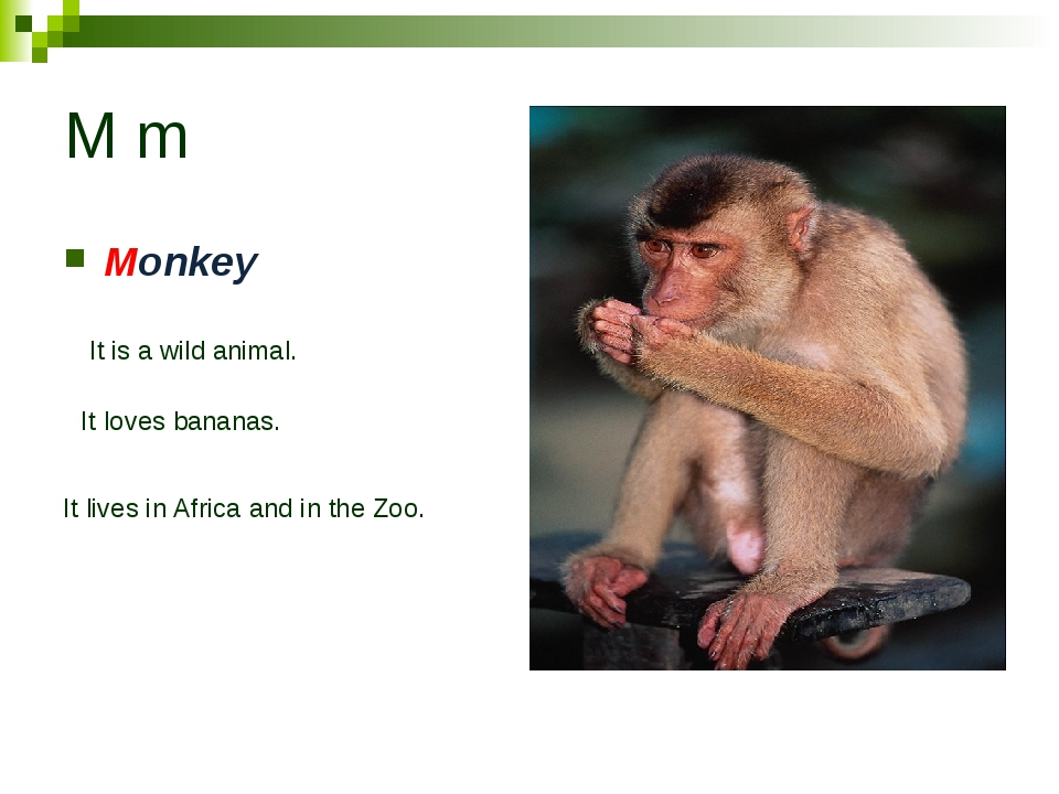 M m Monkey It is a wild animal. It loves bananas. It lives in Africa and in t...