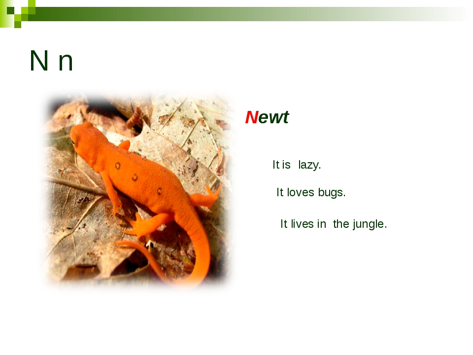 N n Newt It is lazy. It loves bugs. It lives in the jungle.
