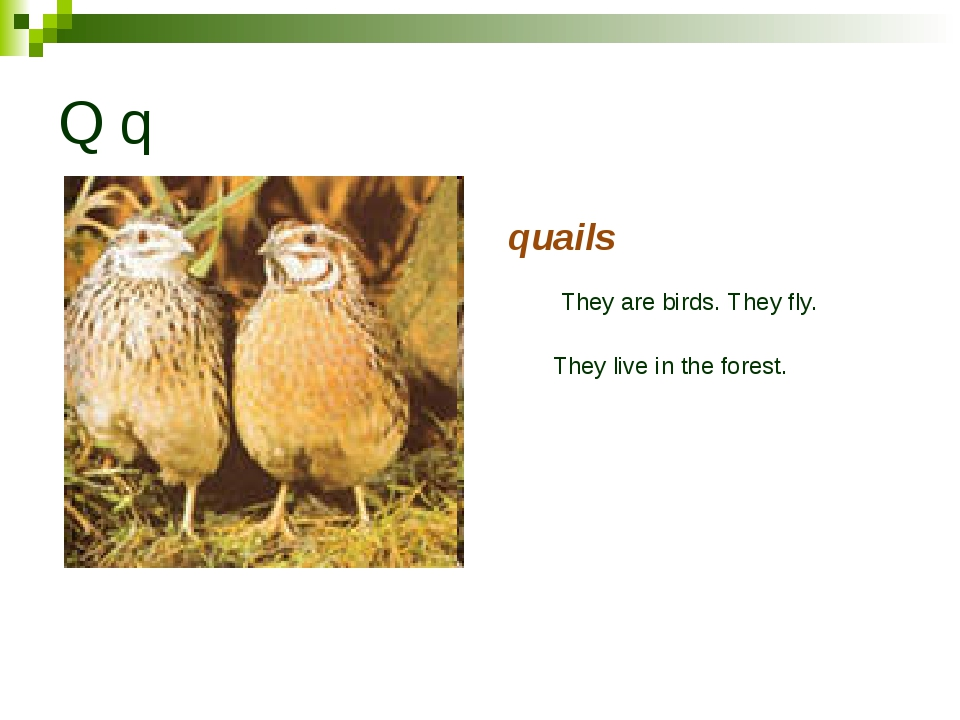 Q q quails They are birds. They fly. They live in the forest.