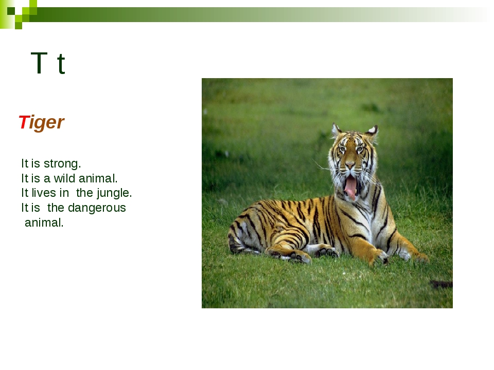T t Tiger It is strong. It is a wild animal. It lives in the jungle. It is th...