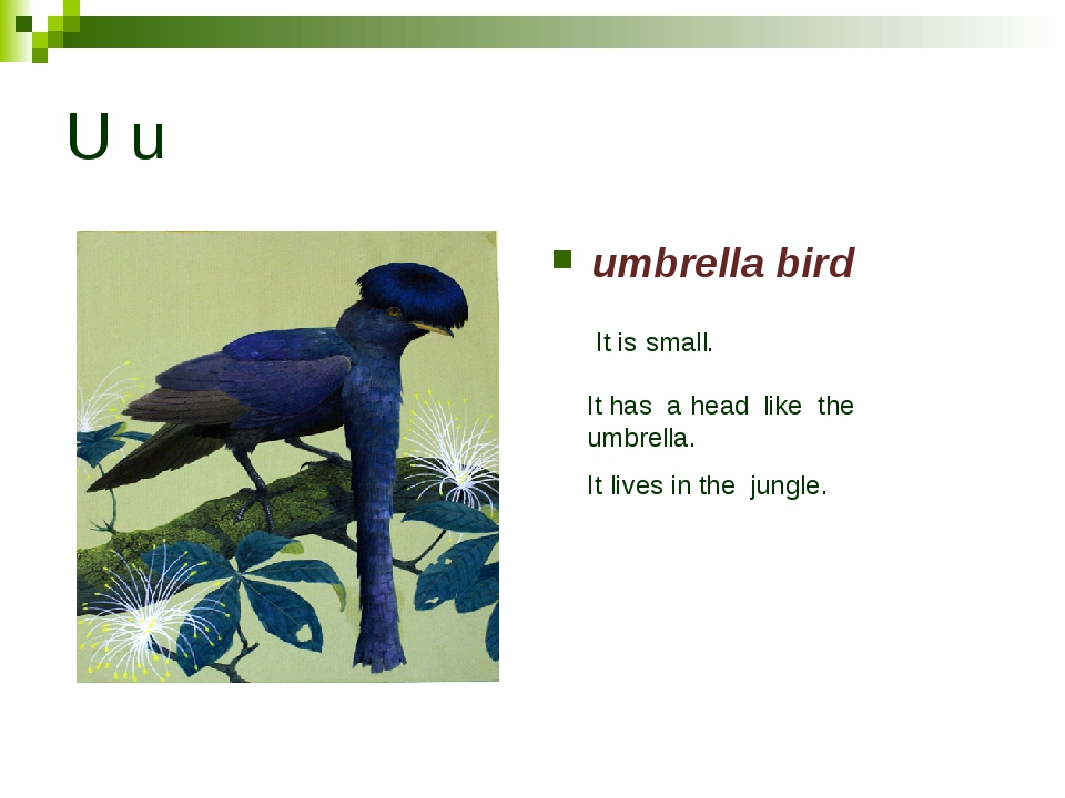 U u umbrella bird It is small. It has a head like the umbrella. It lives in t...