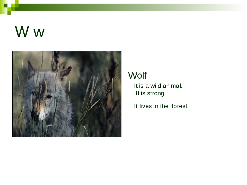 W w Wolf It is a wild animal. It is strong. It lives in the forest