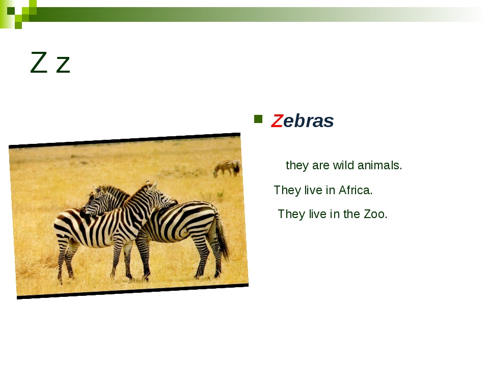 Z z Zebras they are wild animals. They live in Africa. They live in the Zoo.