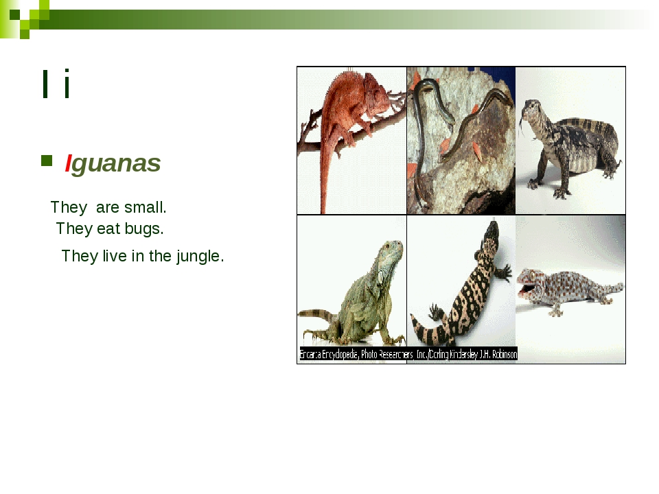 I i Iguanas They are small. They eat bugs. They live in the jungle.