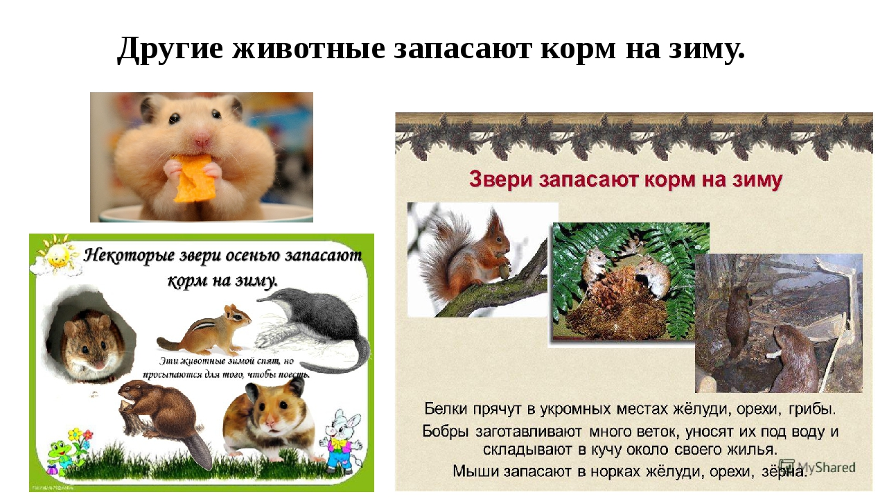Другие животные запасают корм на зиму.