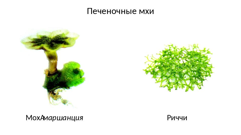 Печеночные мхи Мохмаршанция Риччи