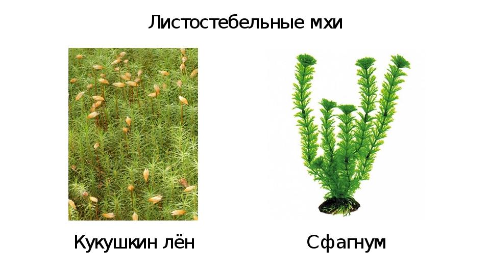 Листостебельные мхи Кукушкин лён Сфагнум