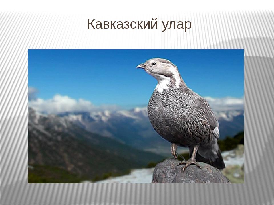 Кавказский улар