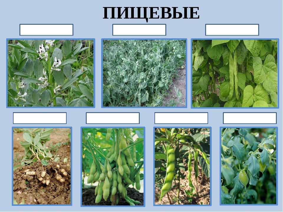 Бобовые растения названия список