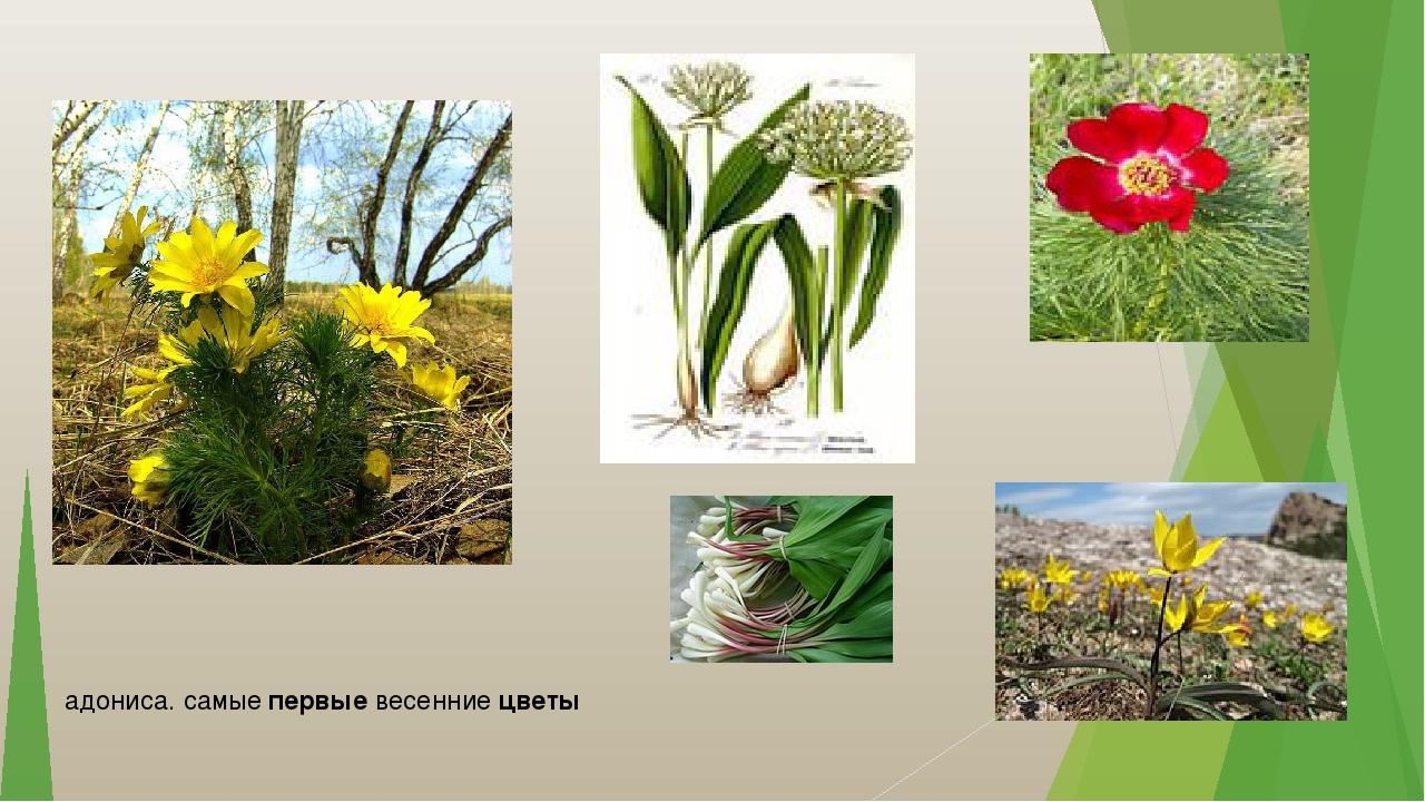 адониса. самые первые весенние цветы