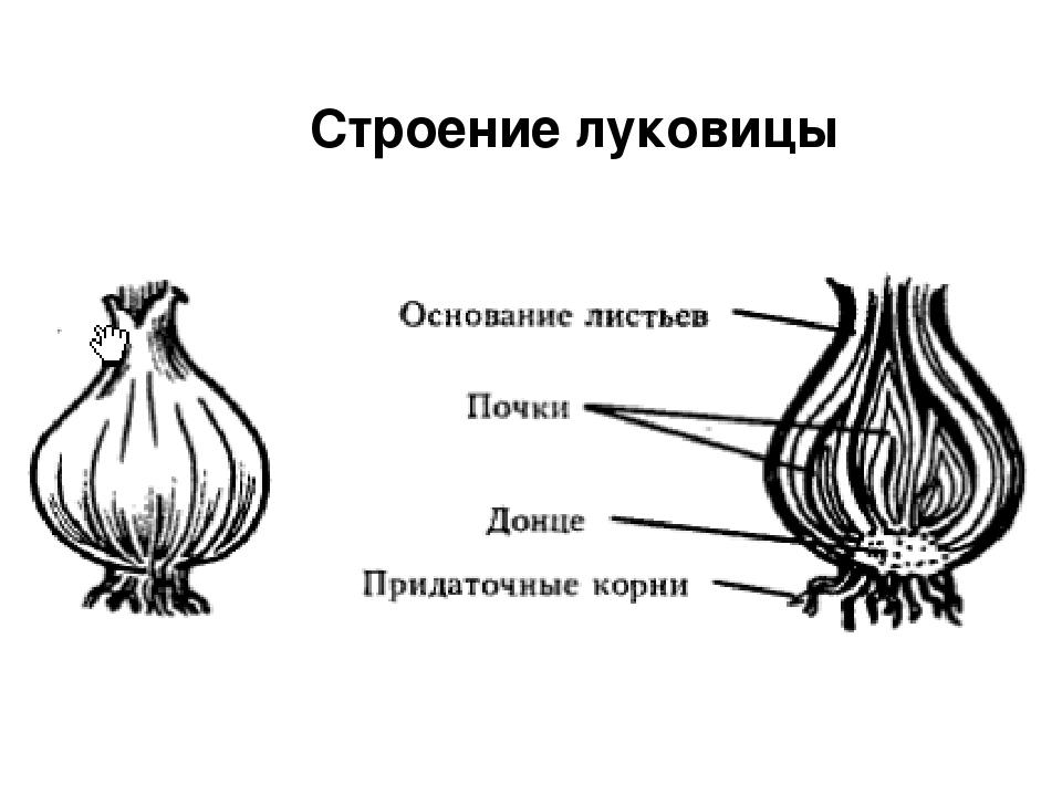 луковица стебель и листья картинки скругленные лепестки