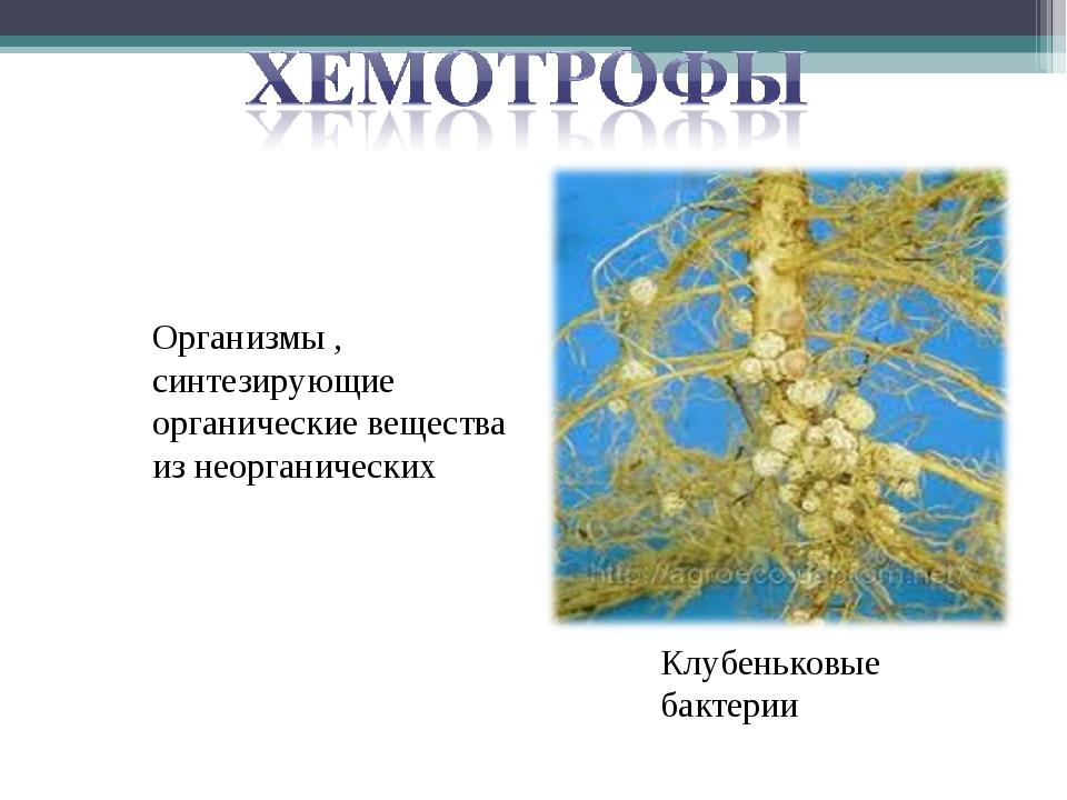 Организмы , синтезирующие органические вещества из неорганических Клубеньковы...