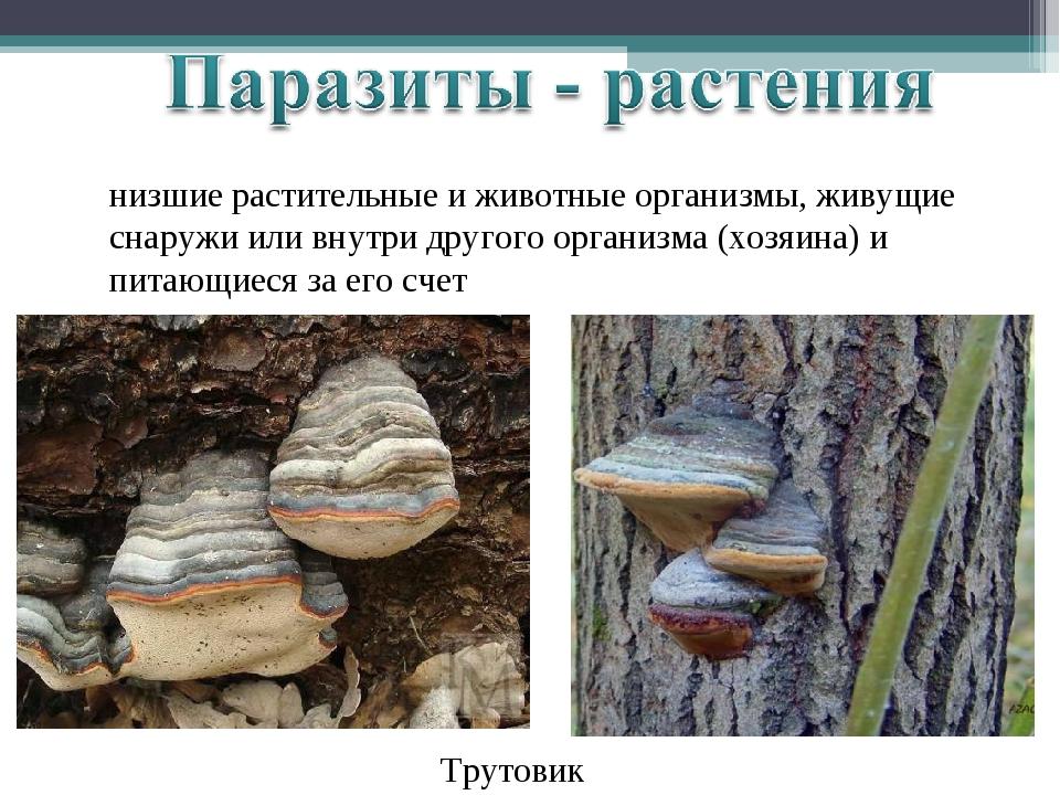 низшие растительные и животные организмы, живущие снаружи или внутри другого...