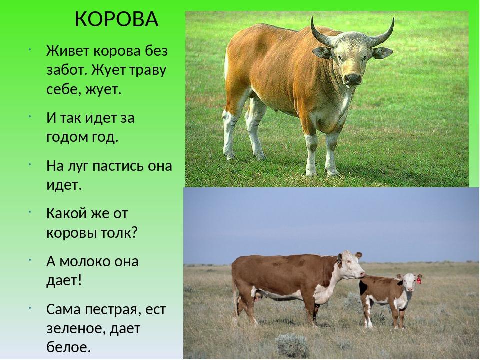 КОРОВА Живет корова без забот. Жует траву себе, жует. И так идет за годом го...