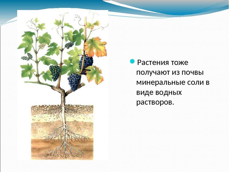 Растения тоже получают из почвы минеральные соли в виде водных растворов.