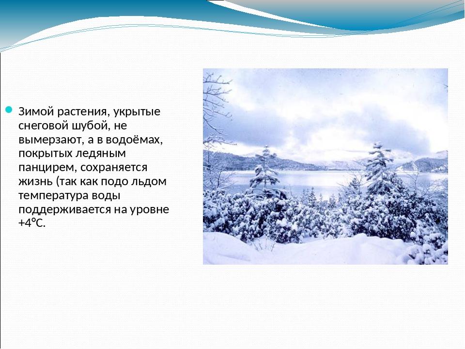 Зимой растения, укрытые снеговой шубой, не вымерзают, а в водоёмах, покрытых...