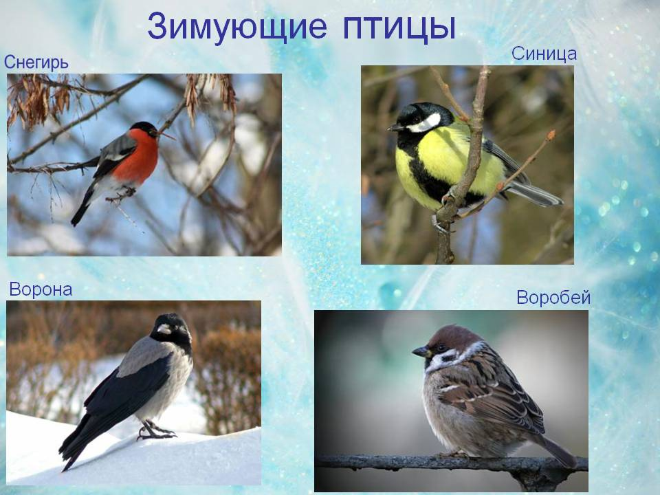 зимующие птицы сибири фото с названиями что для