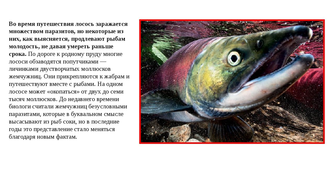 Во время путешествия лосось заражается множеством паразитов, но некоторые из...
