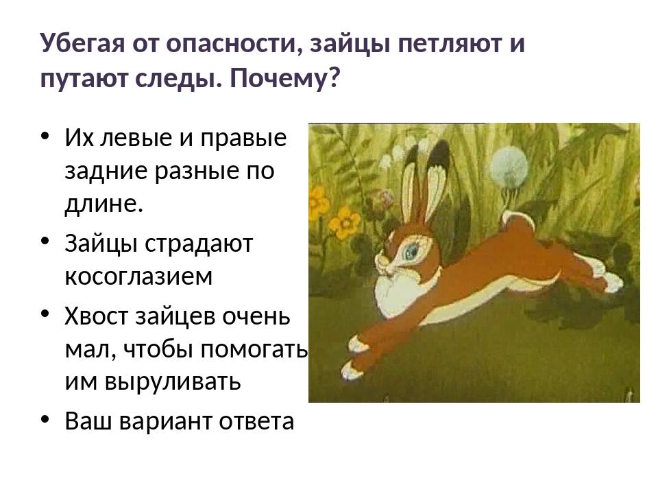 Убегая от опасности, зайцы петляют и путают следы. Почему? Их левые и правые...