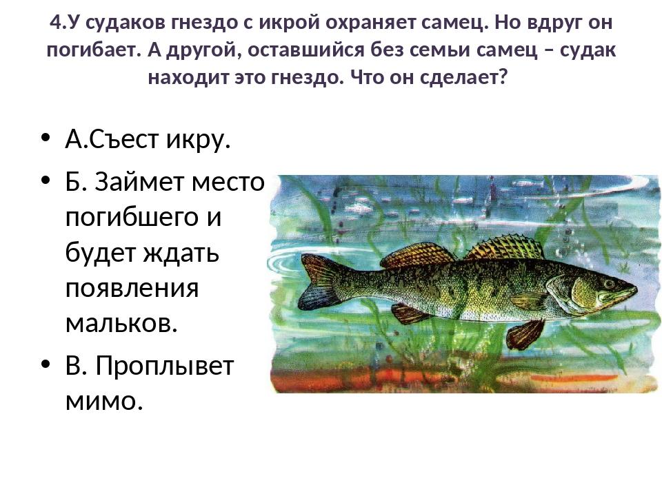 4.У судаков гнездо с икрой охраняет самец. Но вдруг он погибает. А другой, ос...