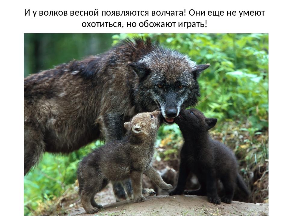 И у волков весной появляются волчата! Они еще не умеют охотиться, но обожают...