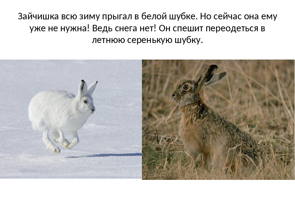 Зайчишка всю зиму прыгал в белой шубке. Но сейчас она ему уже не нужна! Ведь...