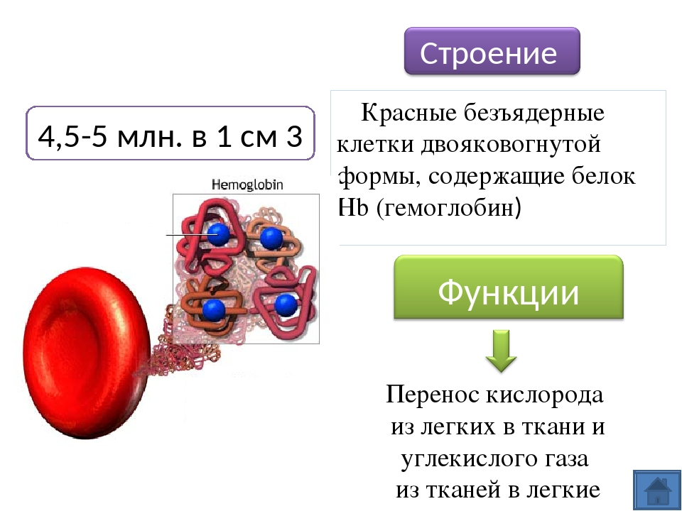 Сравнение эритроцитов человека и эритроцитов лягушки