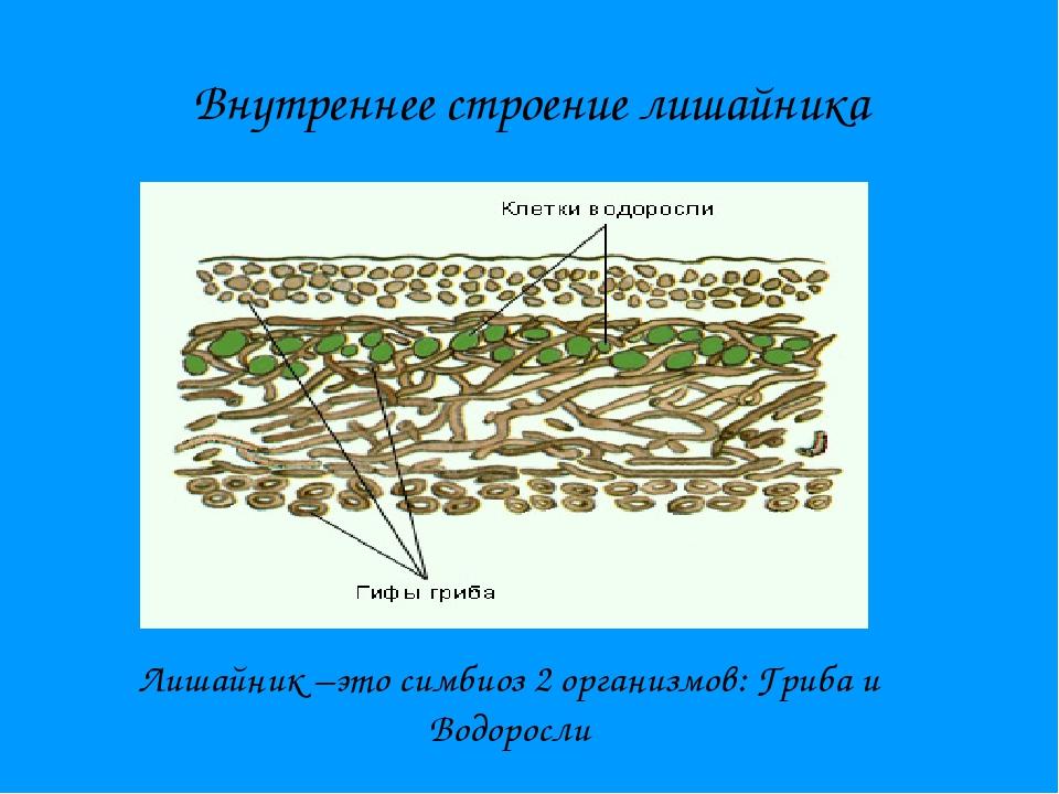 Внутреннее строение лишайника Лишайник –это симбиоз 2 организмов: Гриба и Вод...