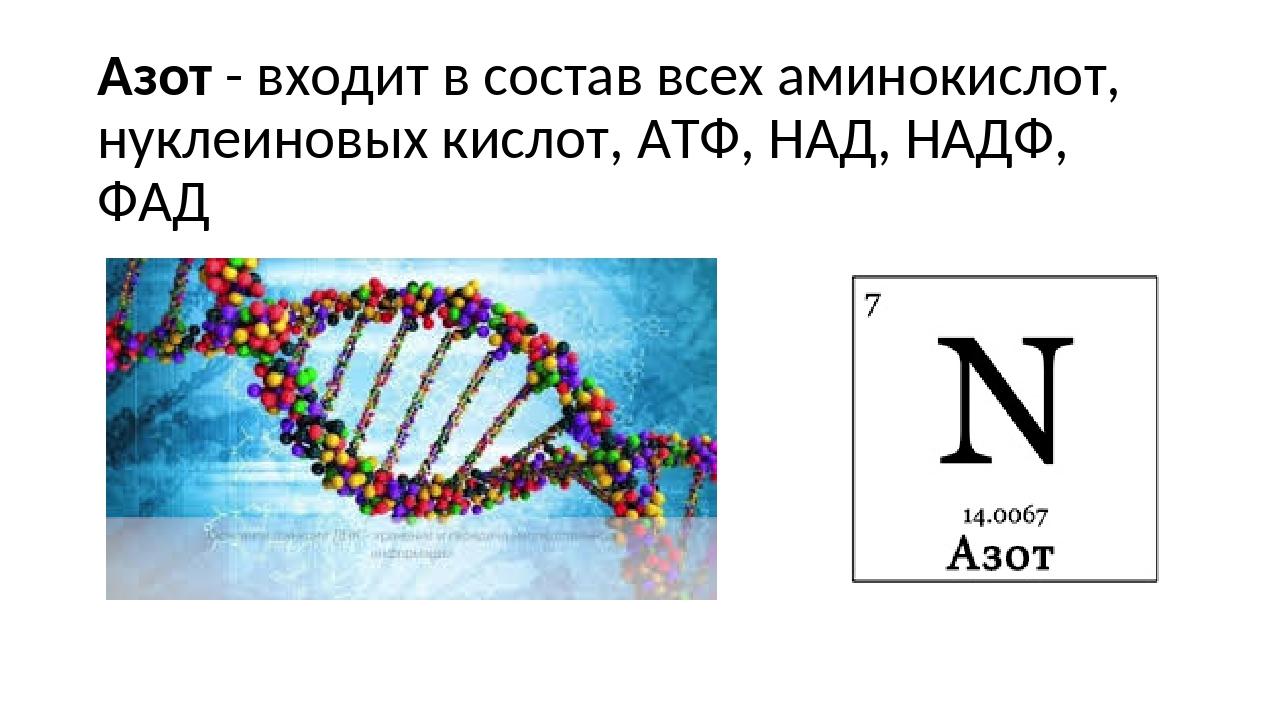 Азот - входит в состав всех аминокислот, нуклеиновых кислот, АТФ, НАД, НАДФ,...