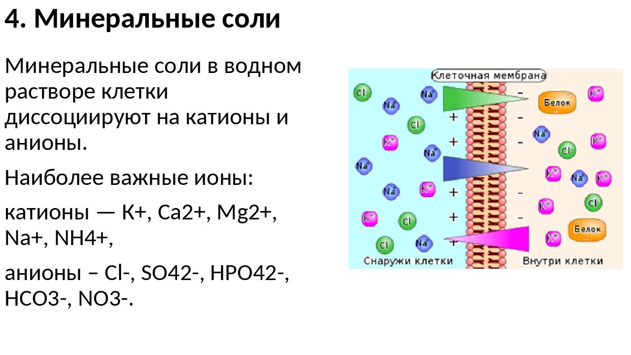 4. Минеральные соли Минеральные соли в водном растворе клетки диссоциируют на...