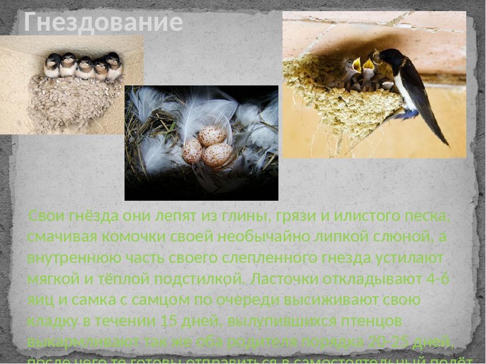 Свои гнёзда они лепят из глины, грязи и илистого песка, смачивая комочки сво...