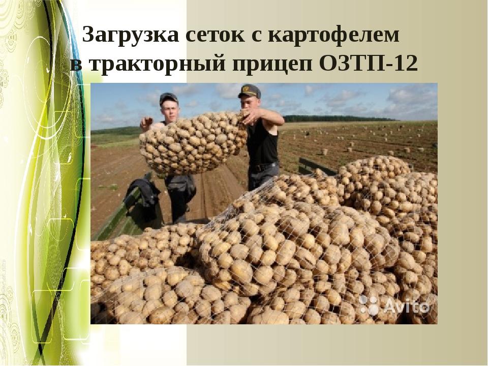 Загрузка сеток с картофелем в тракторный прицеп ОЗТП-12