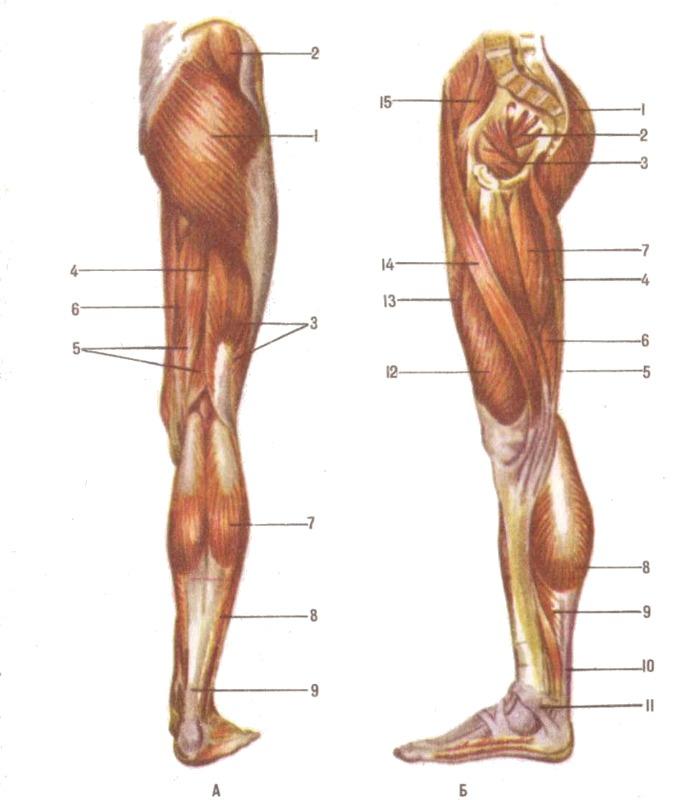 названия мышц ног с картинками