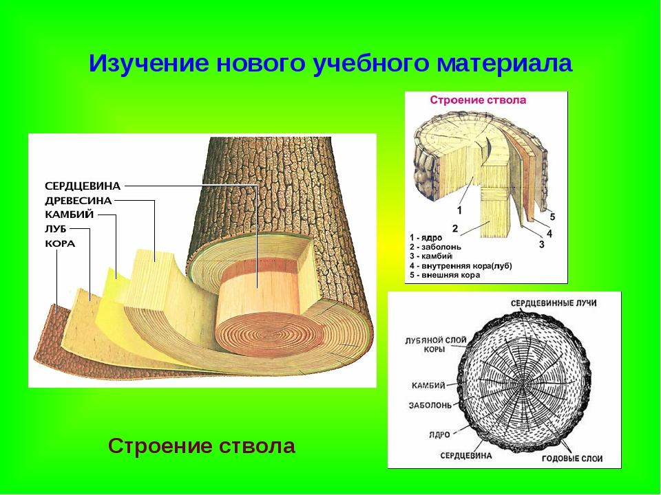 Изучение нового учебного материала Строение ствола