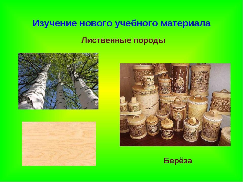 Изучение нового учебного материала Лиственные породы Берёза