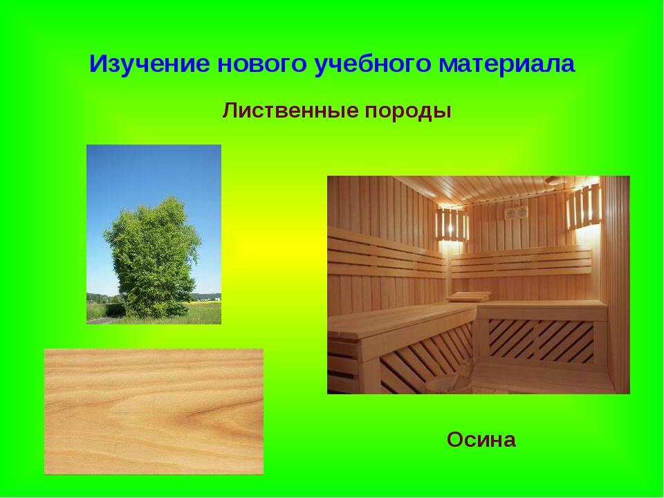 Изучение нового учебного материала Лиственные породы Осина