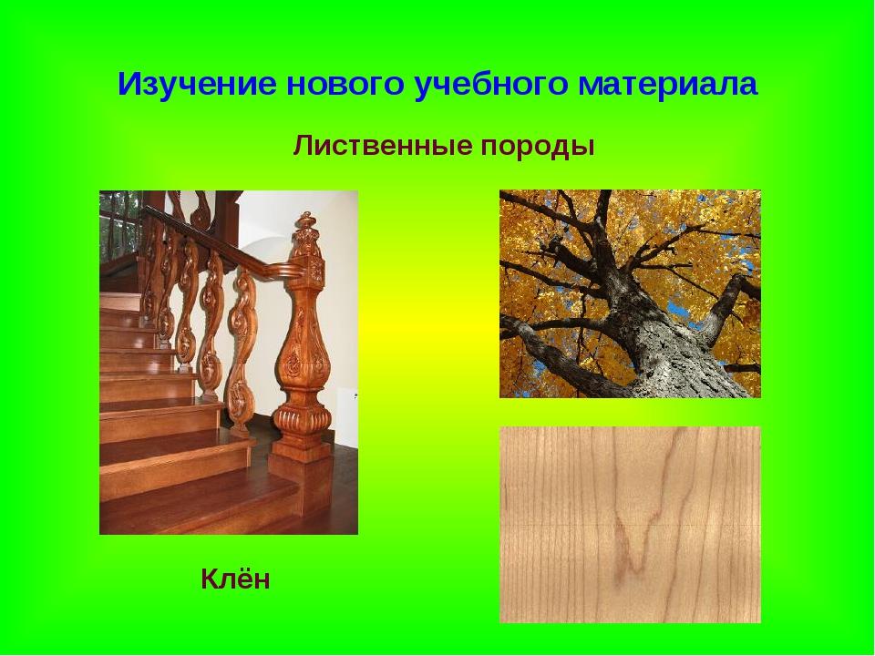 Изучение нового учебного материала Лиственные породы Клён