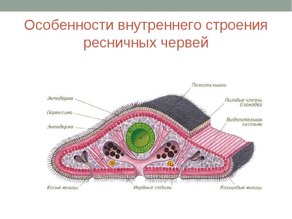 Особенности внутреннего строения ресничных червей