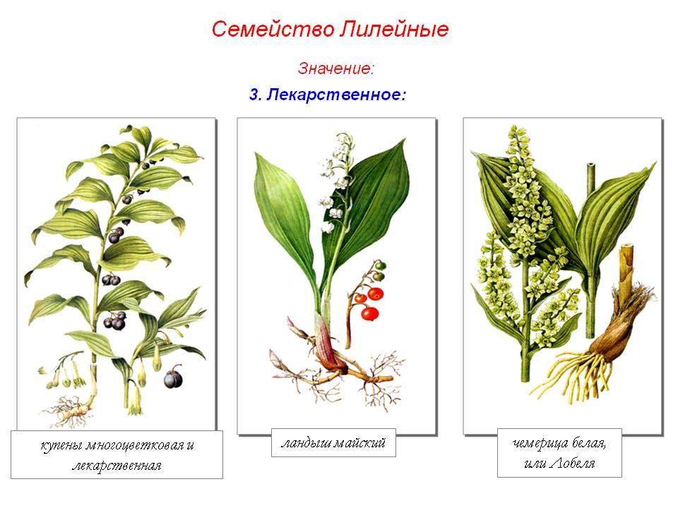 лилейные растения фото