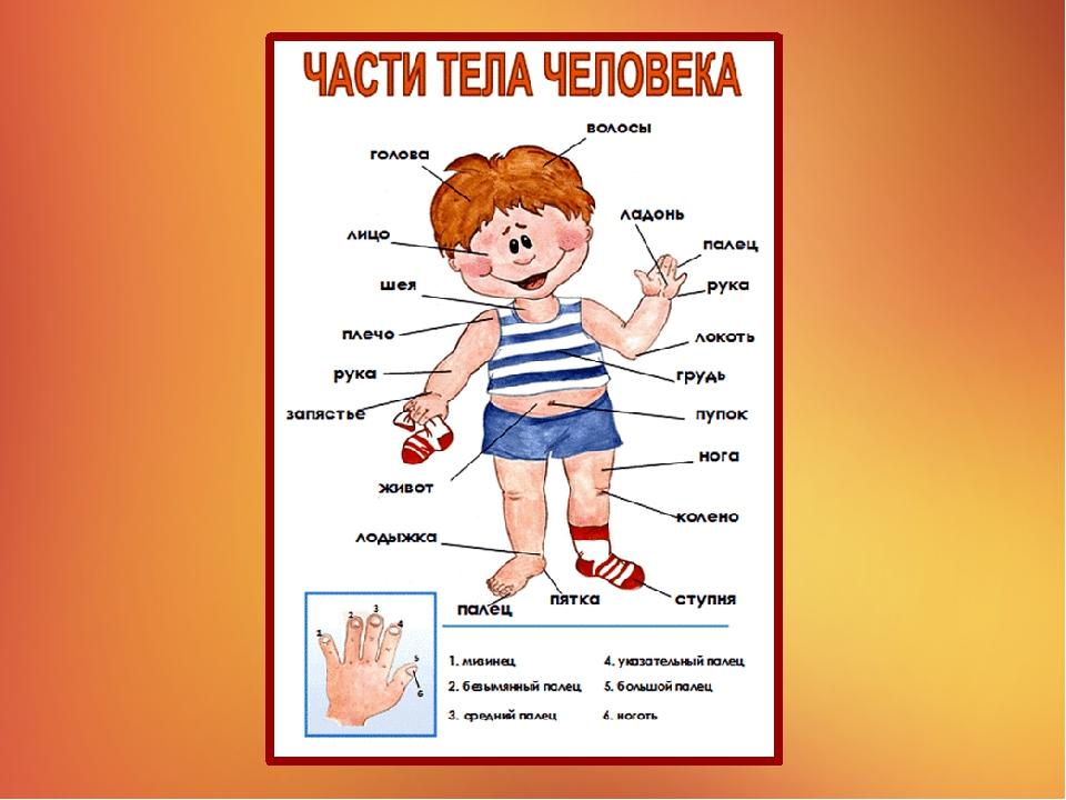 Внешнее строение человека в картинках для детей